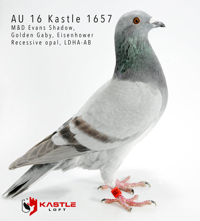 Recessive Opal Racing Pigeon Collection  