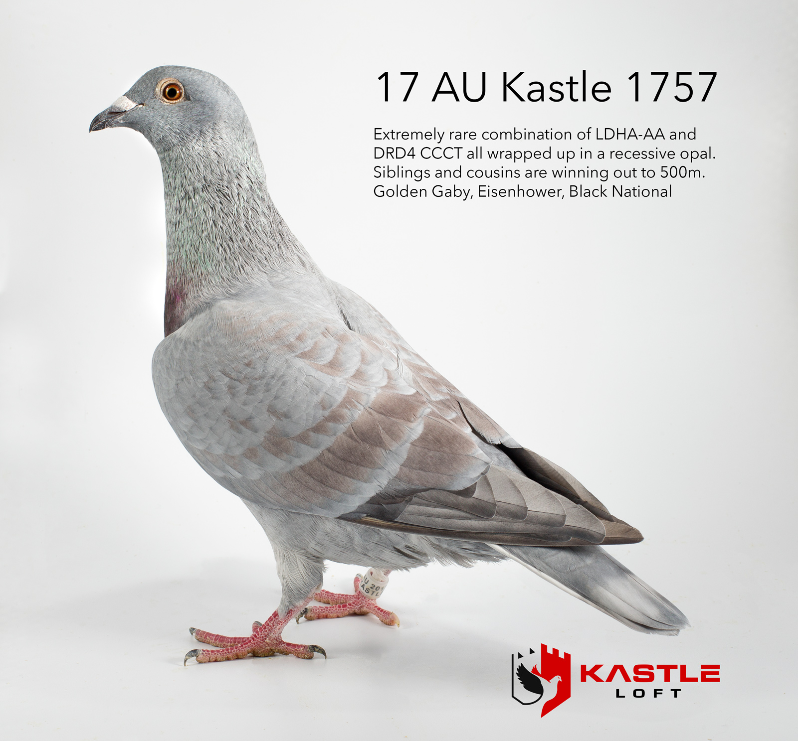 Recessive Opal Racing Pigeon Collection |